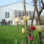 Tulipes blanches en fleurs