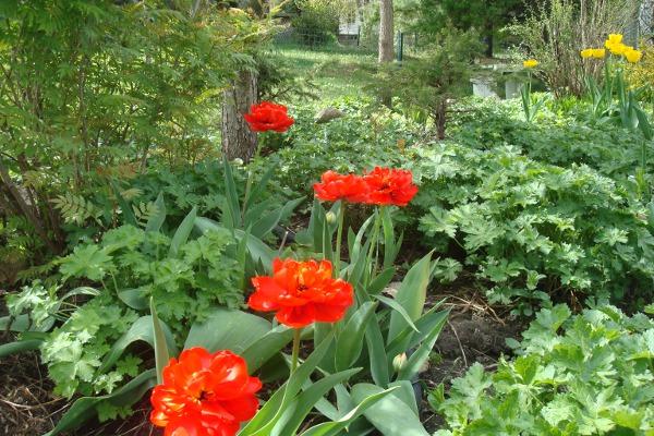 Tulipes rouges en fleurs