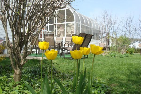 Tulipes jaunes.